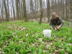 La leurda prin padure / picking wild garlic