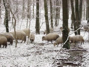 sheep in the forest / oi în pădure