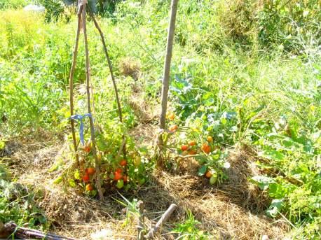 Câteva roșii mai aproape de casă, plantate primele.