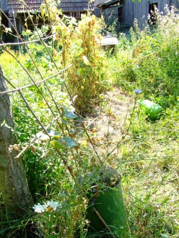 Fasolea, pusă tot într-un strat nou și nu suficient de adânc suferă de secetă.