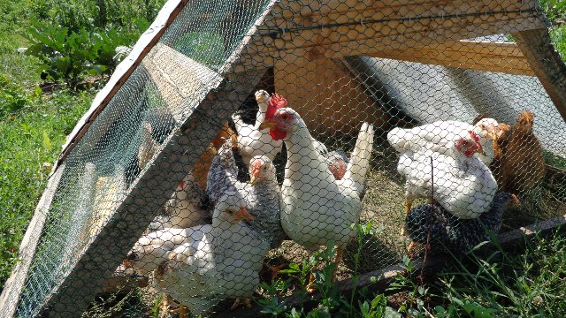 Chicken tractor in use