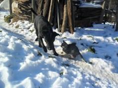 cățelușa Șoric și pisoiul Findus